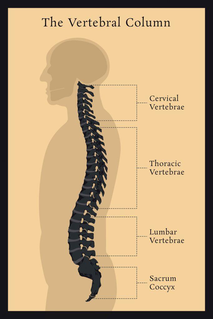 Spinal Vertebral Column