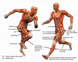 Anterior Chain & Posterior Chain Muscles