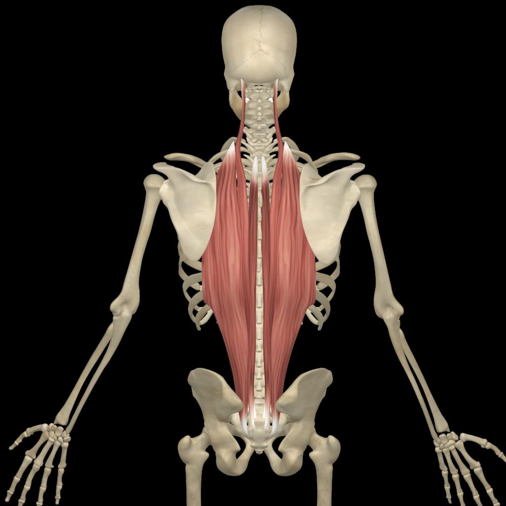 Erector Spinae/Multifidus - Spinal Loosening