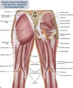 Hip Anatomy - Hip Activation